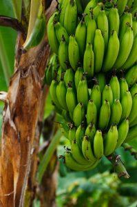 Bannanenplantage