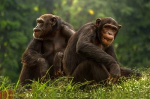 Bonobos - Pärchen