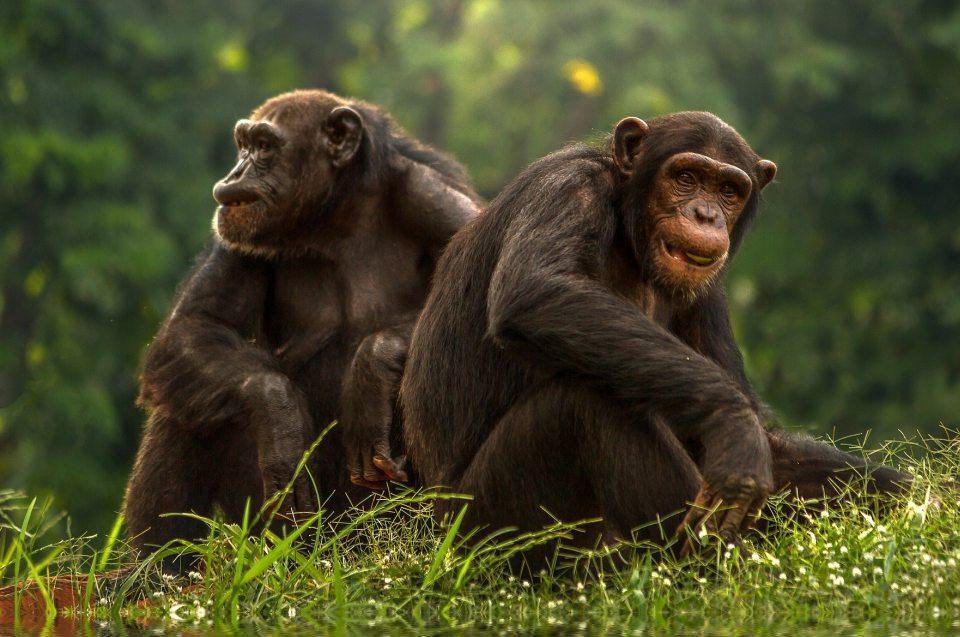 Kongobecken: Bonobos - Pärchen