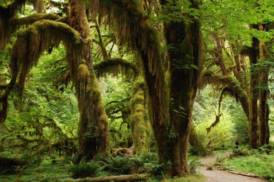 Tropenholz: Regenwald mit moosbewachsenen Bäumen