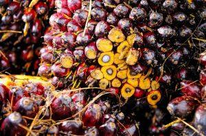 Palmölfrucht aufgeschnitten