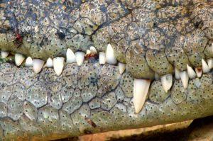 Krokodil Maul Detail