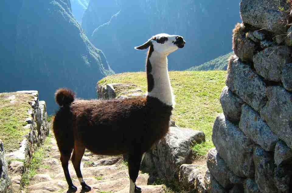 Vorläufer der Inka: Lama