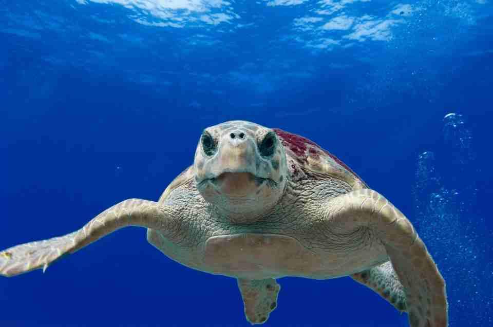 Meeresschildkröte: außergewöhnliche Tiere