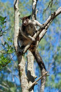 Baumkänguruh © Konrad Wothe