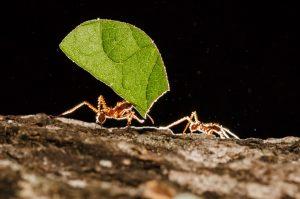 Ameisen, Ameisenbär und Ameisenriten - Blattschneiderameise © Konrad Wothe