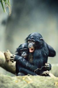Bonobo Babies © Konrad Wothe