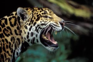 Jaguar © Konrad Wothe