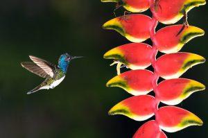 Kolibri an Blüte © Konrad Wothe