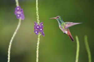 Kolibri im Anflug © Konrad Wothe