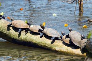 Schildkröten © Konrad Wothe