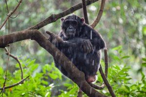 Schimpanse © Konrad Wothe