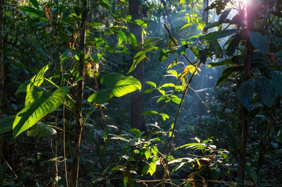 Guttapercha - Gewinnung & Verwendung: Sonne im Regenwald © Konrad Wothe