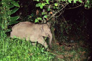 Zwergelephant Borneo © Konrad Wothe