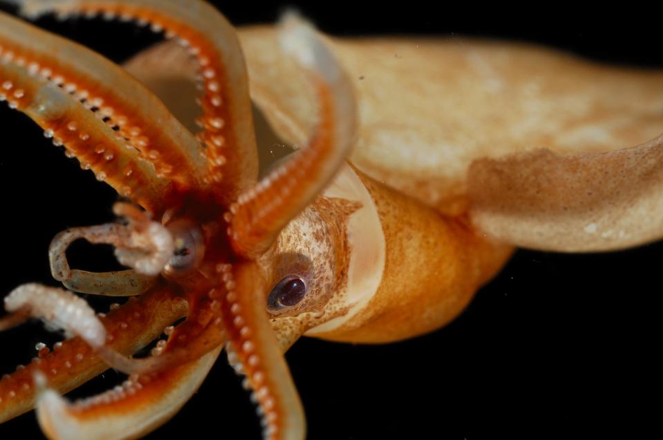 Wirbellose Tiere: Kraken: Magnapinna atlantica Tiefseekalmar © Solvin Zankl