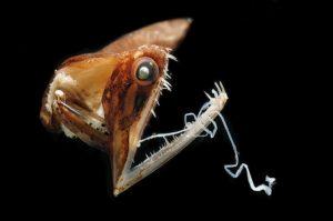 Schwarzer Drachenfisch © Solvin Zankl